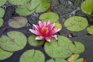 Lily pads in garden pond